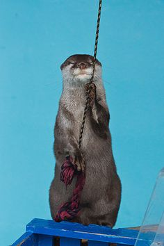"""Otter: """"I'm about to do a trick that you've never seen before - watch carefully..."""""""