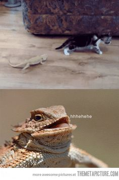 OMG, if the gif doesn't play for you, you HAVE to click on it and watch! #beardeddragonfunny