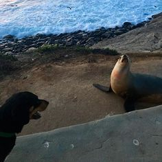 Land dog meets sea dog, wish I could know what they were thinking. #lajolla #brotherfromanothermother #adventureswiththor pc:@kim92christen #lajollalocals #sandiegoconnection #sdlocals - posted by   https://www.instagram.com/bertmatiyow. See more post on La Jolla at http://LaJollaLocals.com
