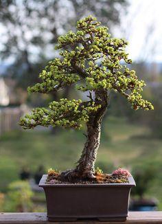Larch Tree Bonsai