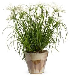 Papyrus 'King Tut' Decorative Grass - Plant it by a pond, in a flowerbed or in a container. Just plant it, you won't be disappointed.