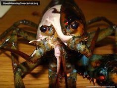 Half-White, Half-Black Lobster!! We certainly need more of these! #AnimalAlchemy