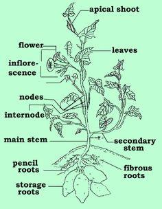 Flower description glossary -- terms for describing flowers ...