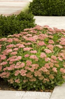 """Autumn Joy Sedum - Partial to full sun perennial.  Once established needs only occasional watering.  18-24"""" tall and wide with late summer bloom into fall.  Leave bloom stalks up through winter to provide interest."""