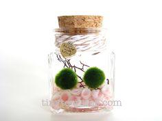 Marimo Moss Ball Terrarium / Aquarium: Tiny Square Jar with rose cup shells- Several colors available