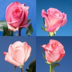 Beautiful Assorted Graceful Pink Roses | 100 Assorted Pink Roses