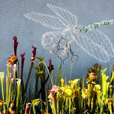 """A chicken wire sculpture """"hovering"""" above a bog of Sarracenia pitcher plants."""