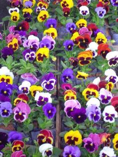 Multicolor flats of pansies
