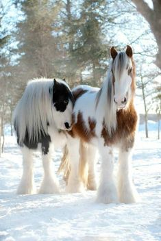 Horses in the snow - from Pine Valley Gypsy Vanner Drum Horses.  Photography: Kim Boulet