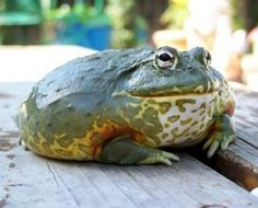 African Bullfrog . Jabba the Hutt of the frog world .