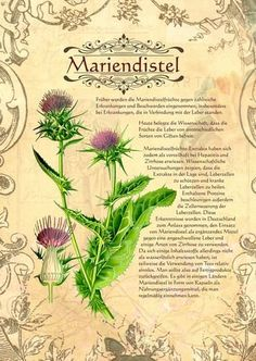 Mariendistel http://www.kraeuter-verzeichnis.de/