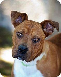 valparaiso, IN - Boxer/Shepherd (Unknown Type) Mix. Meet Bronx, a dog for adoption. http://www.adoptapet.com/pet/13943432-valparaiso-indiana-boxer-mix