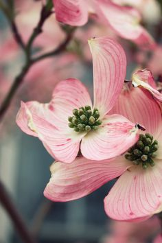 Pink dogwood blossoms...