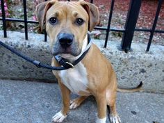 TO BE DESTROYED10/19/13 Manhattan Center-P~DEVA  ID # is A0981875.Female tan and white pit bull mix. 7 MTHS old. OWNER SUR 10/12/13. Shy little girl, quiet in her kennel, happy to go for a walk, but scared of loud street noises. Deva needs to be more comfortable in order to be playful. We are told that she is friendly to other dogs, and all adults,not small children.She's a beautiful little girl who will be an amazing adult dog; she just needs to find the right family in which to blossom.