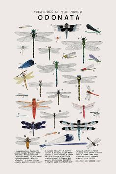 Animals Drawing Creatures of the order Odonata, Art print of an illustration by Kelsey Oseid. This poster chronicles 30 gorgeous dragonflies, and damselflies, from the taxonomic order Odonata. Printed in Minneapolis on acid free 80 Vintage Illustration, Botanical Illustration, Dragonfly Illustration, Science Illustration, Vintage Inspiriert, Castle In The Sky, Animal Posters, Art Posters, Bugs And Insects