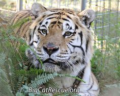"""Andy Tiger Announces: """"Big Cat Updates Posted""""https://bigcatrescue.org/jan-26-2017/ALSO, Carole will be broadcasting live on Facebook.com/BigCatRescue at 12:30 ET Come join us."""