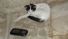 """""""I texted her two minutes ago. Where is she?"""" Black and White Cat and Cell Phone by Wikimedia Commons"""