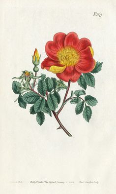William Curtis Botanical Prints 1787-1826 - Red and Yellow Austrian Rose