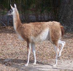 guanaco - Buscar con Google