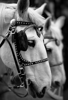 Draft Horses- these white ones remind me of Mom's other team Rosie n Nosie?