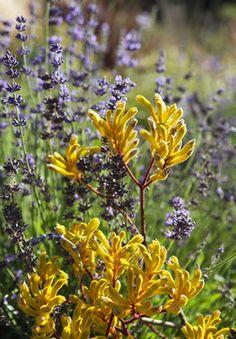 YELLOW AND PURPLE; Kangaroo paws and lavender