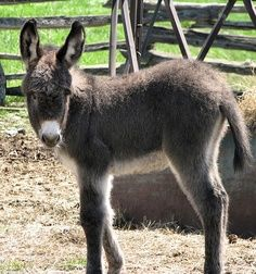 donkeys and mules - Google Search
