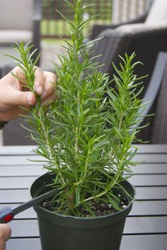 """Propagating Rosemary (lavender, etc.) - How-to root in water, but water roots are weaker than those started in soil. Commenter Sebette says: """"I have my rosemary cuttings rooting nicely in damp potting soil in old six packs. I worked on an herb farm doing propagation and we did all the perennial herbs this way. Cut 2-3 pieces about 3 inches long, strip off the lower leaves, dip, poke hole in soil, place in hole, snug in and wait. By putting in more sprigs to start you get a bushier plant."""""""