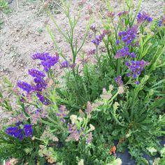 Purple/Blue statice