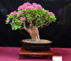 4ta. Exhibicion Bonsai en el Tropico