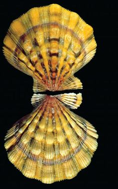 Many bivalves, like this Nodipecten fragosus from Florida, have beautiful shells, making them popular with collectors. However, the shells of some bivalves have reduced in size over eons of evolution.