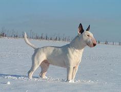 10 Best English Bull Terrier Dog Names Chien Bull Terrier, British Bull Terrier, English Bull Terriers, Best Dog Breeds, Best Dogs, Bull Terriers Anglais, Bull Terrier Miniature, Nanny Dog, Dog Suit