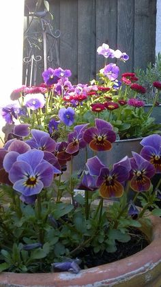 07-08-2016 purple and magenta pansies in the terra cotta pot.