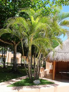 Types of Palm Trees: Areca Palm
