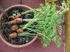 I'm totally intersted in growing carrots in a pot but they remind me of those mandrakes from Harry Potter. Blech!  http://www.vegetable-garden-guide.com/growing-carrots.html