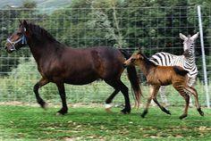 Zebra + Equine= Zebroid | The 14 Coolest Hybrid Animals