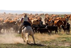 Cattle drive along U.S. 64 south of Raton, New Mexico in 2010.