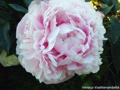 Versoja Vaahteramäeltä Peonies, Rose, Garden, Flowers, Plants, Pink, Garten, Florals, Gardens