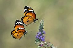 Danaus chrysippus, also known as the Plain Tiger or African Monarch, is a medium-sized, butterfly widespread in Asia and Africa.