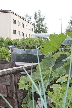 Kankaalla kaupunkiviljellään jo laari- ja säkkiviljelytarhassa / Urban gardening in Kangas