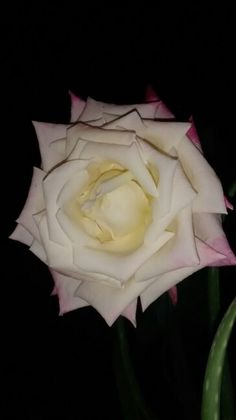 Rosa enorme frontal