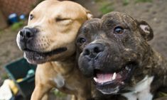 Staffies like these are considered ideal pets by the UK Kennel Club