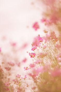 FLOWERS COSMOS