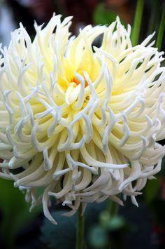 spider chrysanthemum  DSC_5672 / by hkfioregiallo #flower #patterns and textures