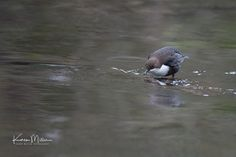 Karen Miller Photography posted a photo:  Dipper on the White Cart, Linn Park