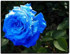 Shop our best value Flower Blue on AliExpress. Check out more Flower Blue items in Home & Garden, Artificial & Dried Flowers, Jewelry & Accessories, Weddings & Events! And don't miss out on limited deals on Flower Blue! Exotic Flowers, Small Flowers, Amazing Flowers, Love Flowers, Colorful Flowers, Wedding Flowers, Flowers Pics, Pretty Roses, Beautiful Roses