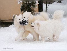 My bowl!!! Samoyed's in the snow