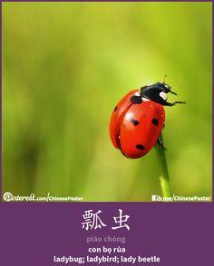 瓢虫 - piáo chóng - con bọ rùa - ladybird