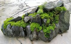 moss for your penjing