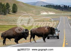 """""""bison crossing the road in yellowstone"""" -Wyoming Stock Photo from gograph.com"""