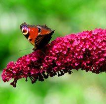 Komule Davidova´Royal Red´ MOTÝLÍ KEŘ Royal Red, Butterflies, Garden, Animals, Garten, Animales, Animaux, Lawn And Garden, Butterfly